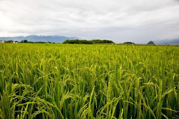 尼日利亚边境关闭后大约有600万人进入该国水稻种植业