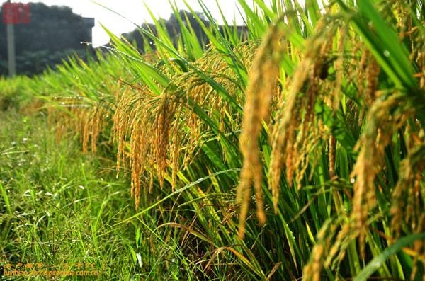 尼日利亚边境关闭使其对本地大米的需求激增