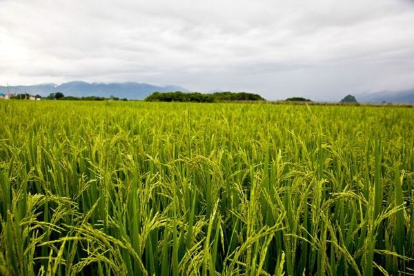 坦桑尼亚大米生产的十年计划