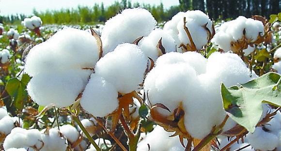 肯尼亚计划种植被称为BT的转基因抗虫棉