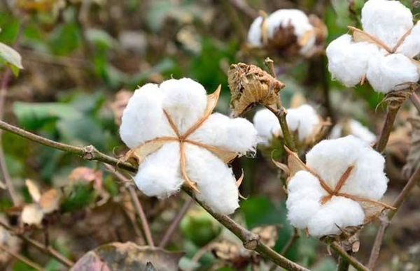 埃塞俄比亚棉花发展情况