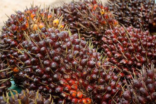 喀麦隆棕榈油生产情况